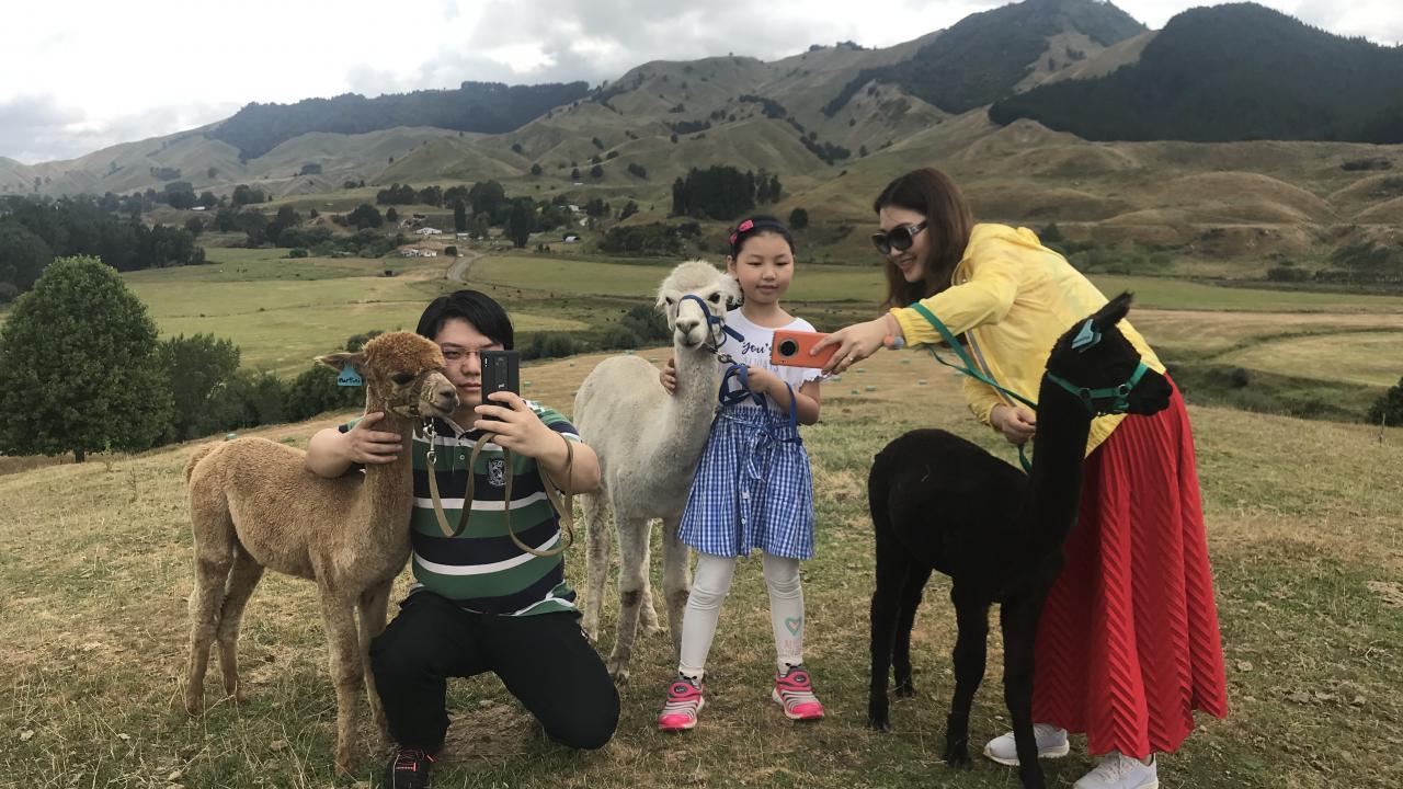 Getting the perfect alpaca selfie