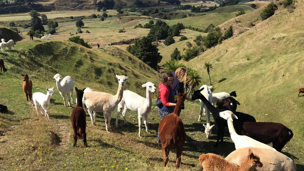 Feeding the alpacas up in the Hills on an Alpaca Trek