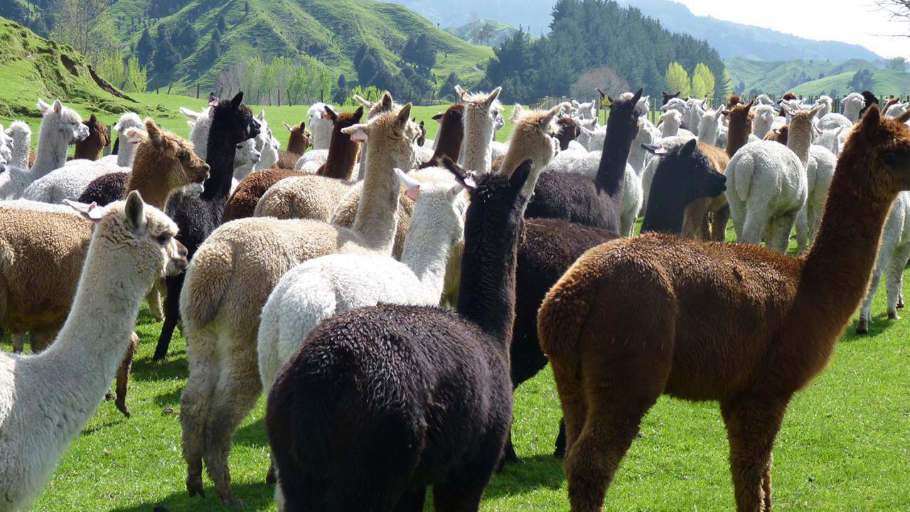 Alpacas in the paddock