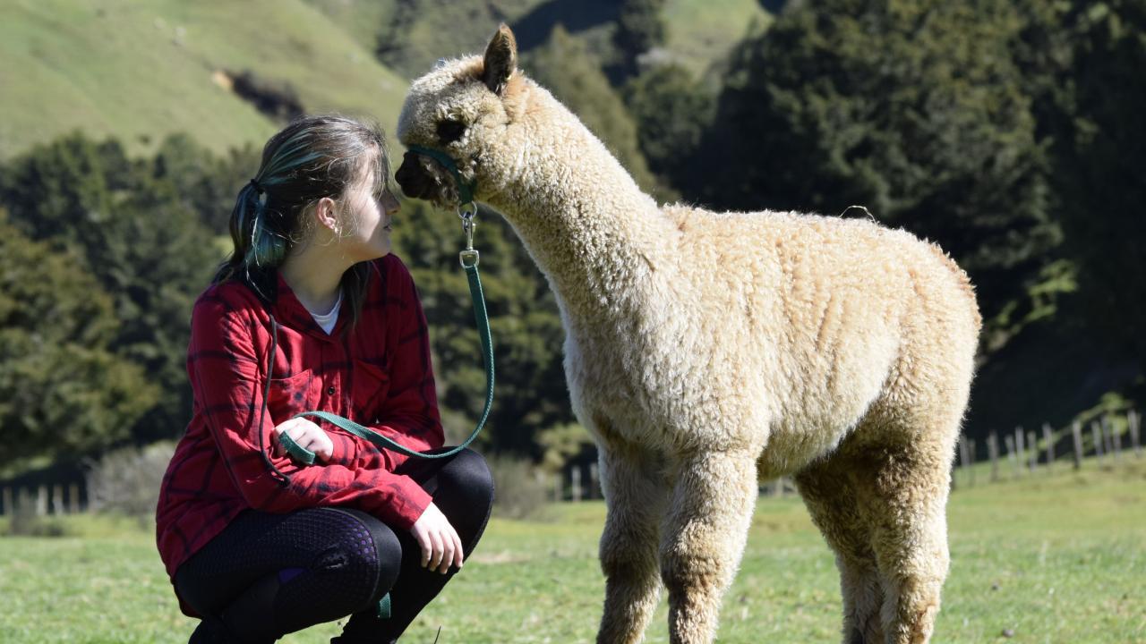 Lennon the alpaca