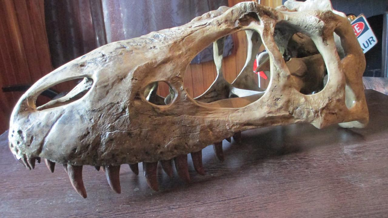 This is an Albertosaurus skull.